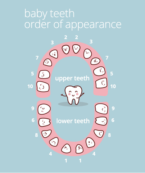 Chart showing the most common order that a baby's milk teeth errupt.
